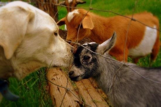 dogs-and-goats.jpg